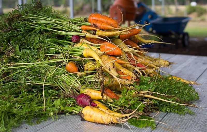 carrots grown in community garden